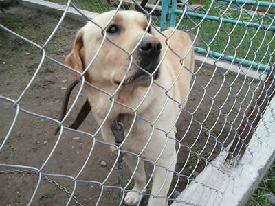 chain link fence for dog cages